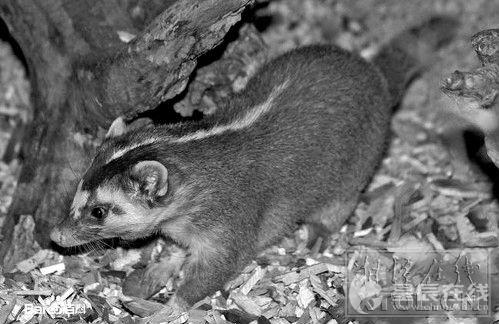 (小)鼬獾属于省级保护动物